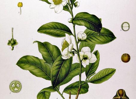 WTF is… Green Tea?!
