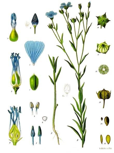 The flax plant (Linum usitatissimum)