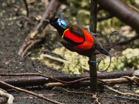 Paradisfåglar den 21 januari…