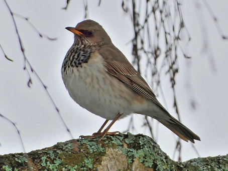 Ny fågelart i Göinge