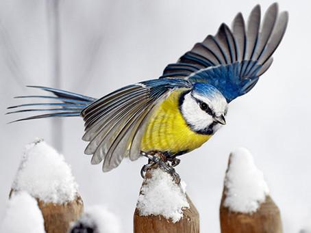Vinterfåglar in på knuten...