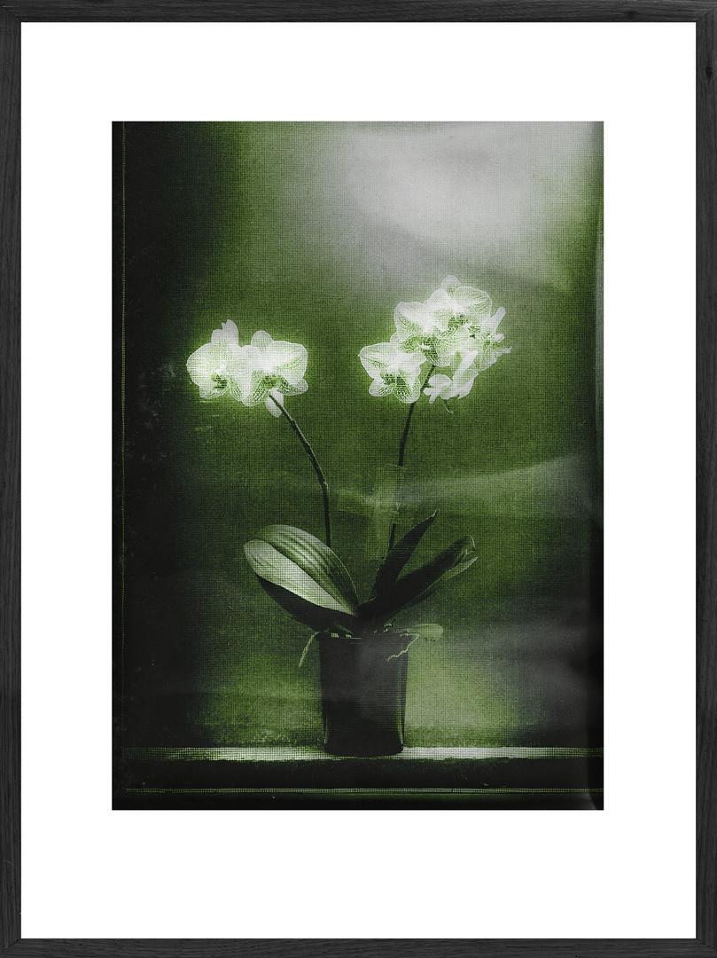 Ester's Orchid, 2019