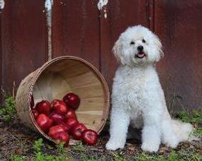 brice-cash-daphne-apples-270x216.jpg
