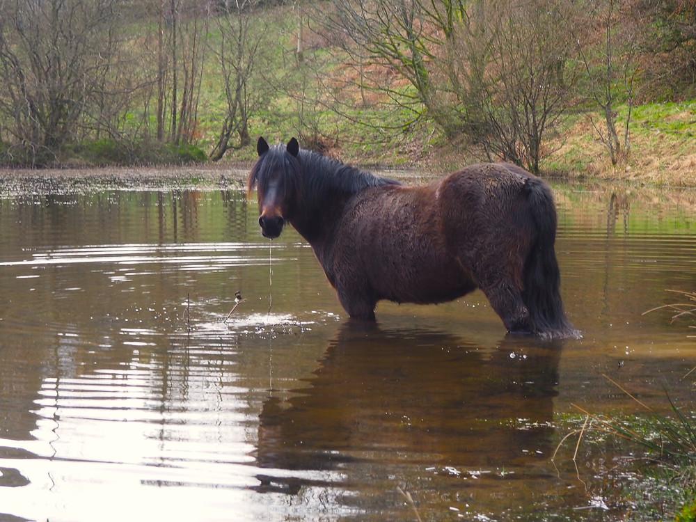 Pony in lake