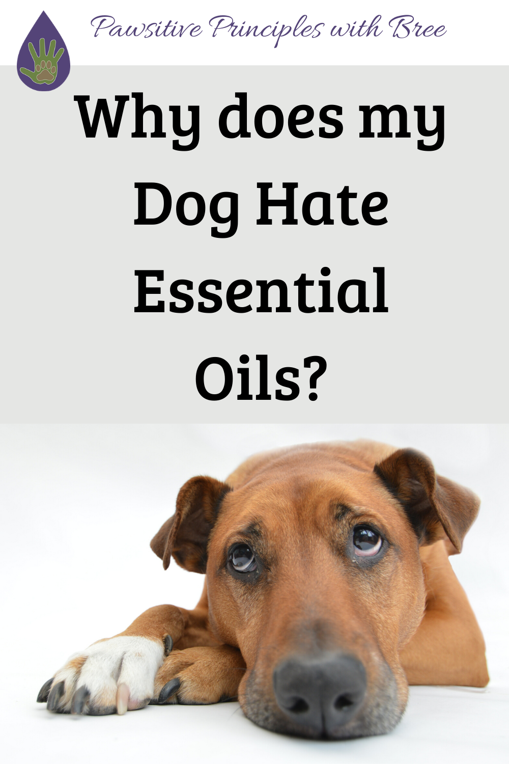 If your dog isn't a fan of essential oils, don't worry! This is fairly normal. Here's how to help your dog adjust to essential oils!