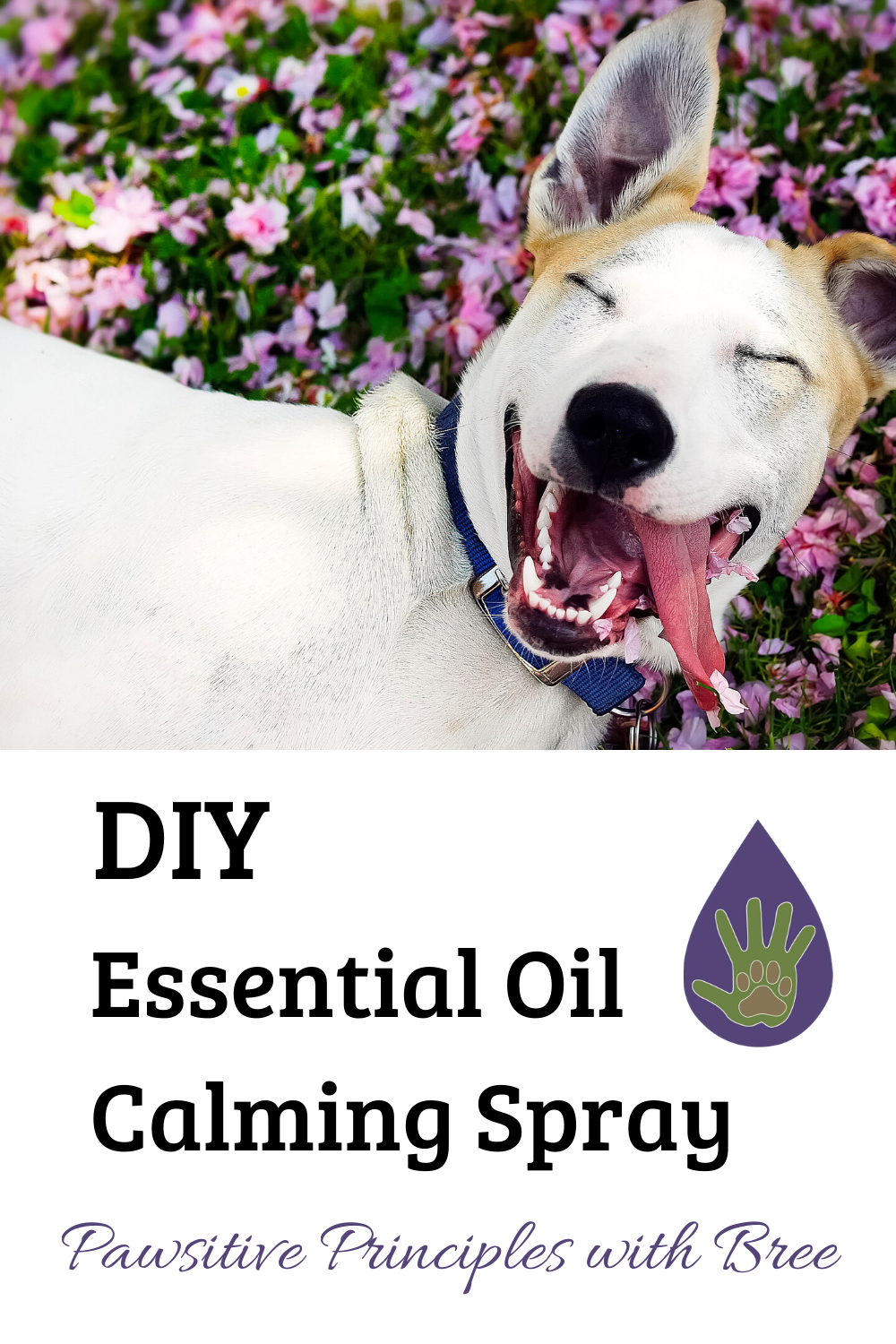 Wondering how to calm my dog with essential oils? Try this DIY essential oil calming spray