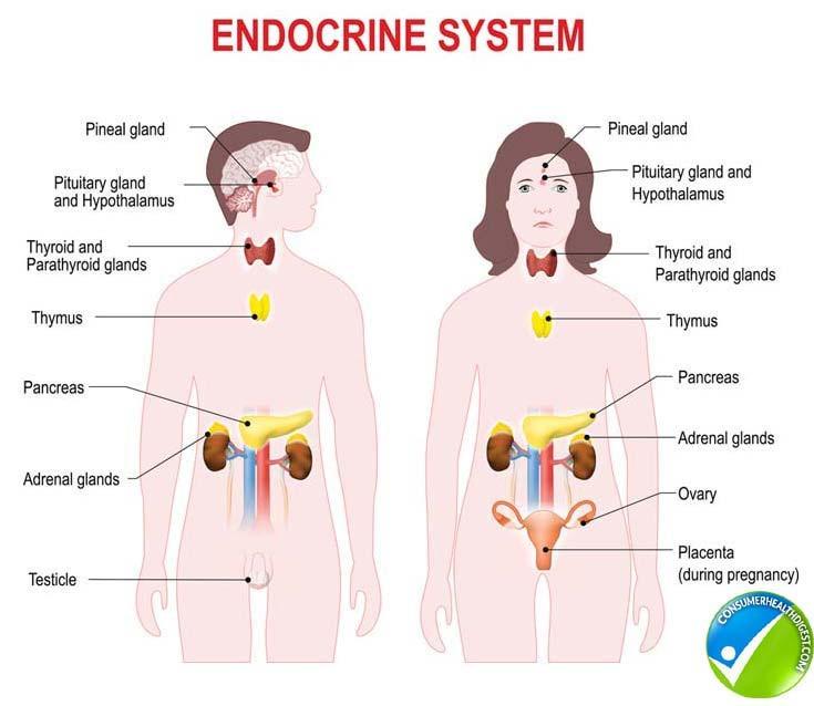 disruptores endocrinos perturbadores endocrinos desreguladores endocrinos