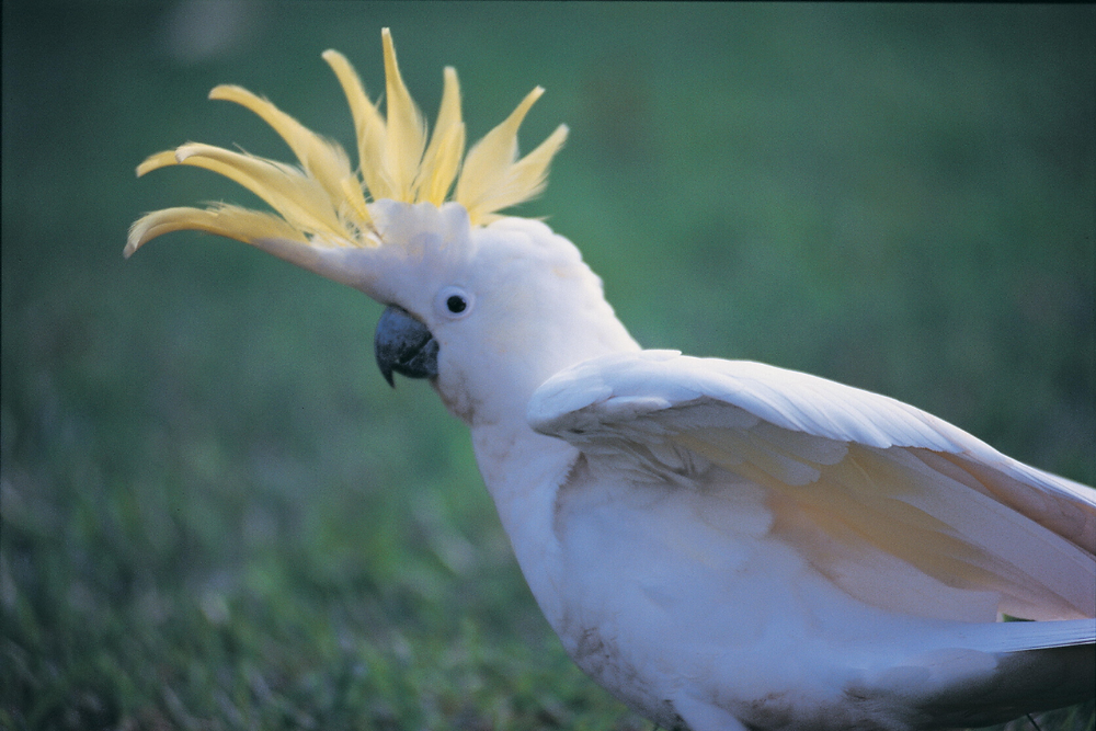 Cockatoos like to maintain their beak by chewing on solar pool heating!