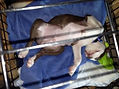Boston terrier puppy relaxing