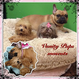picot of vanity pups pets a poodle a Shihtzu and a French bulldog