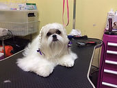 picture of a Shihtzu that was groomed