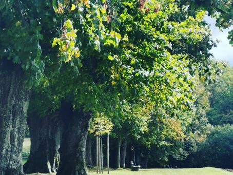 菩提樹 Linde