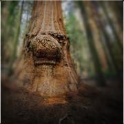 Sequoia Troll