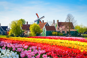 Landscape with tulips, traditional dutch windmills and houses near the canal in Zaanse Sch