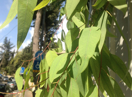 Eucalyptus Harvest- Why harvest and What to do with it?