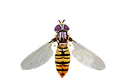 marmalade-hoverfly.png