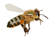 Honey-bee_edited.png