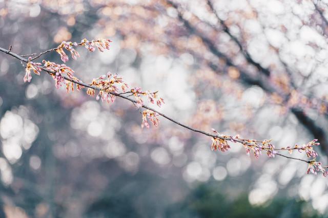 Budding Cherry Blossoms