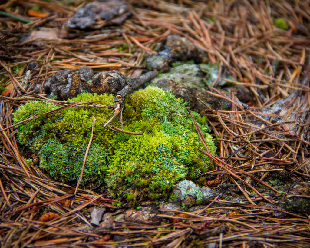 Moss in Pine Needles