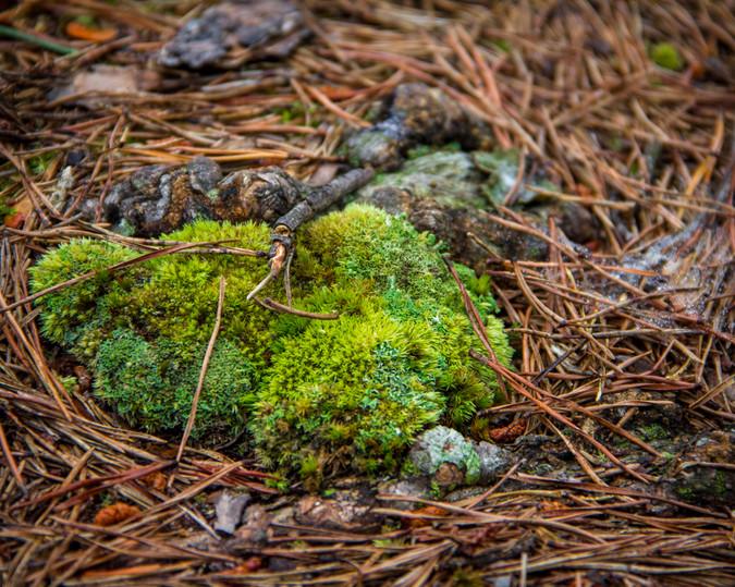 Moss in Pine Needles