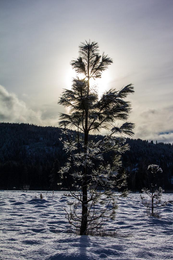 Sparkly Pine