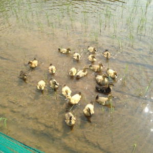 Rice-duck farming