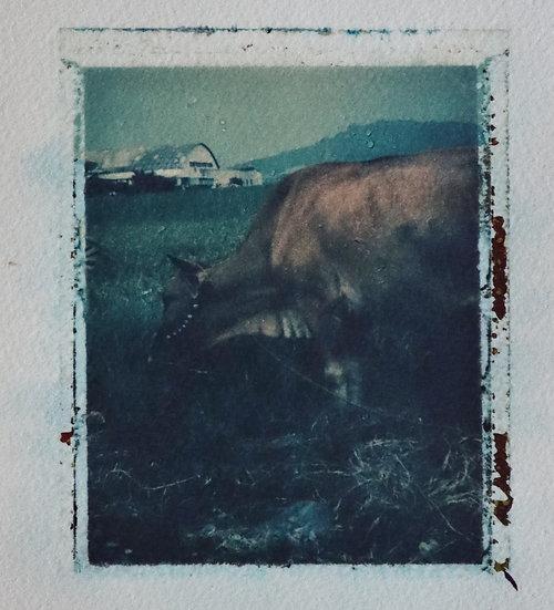 Last Cow in Pasture