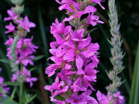 Friend or Foe? Invasive plants, medicinal uses and Purple Loosestrife.