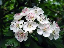 Hawthorn, the Playful and the Joyous