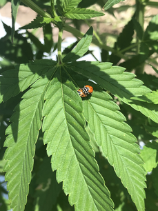 Lady Bugs for Pest Control