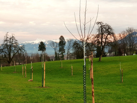 30 neue Hochstamm-Obstbäume / 30 new fruit trees