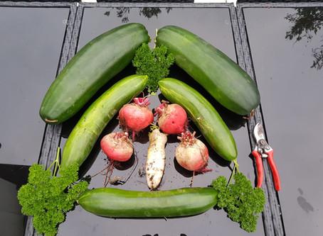 Gemüseernte / Vegetable harvest