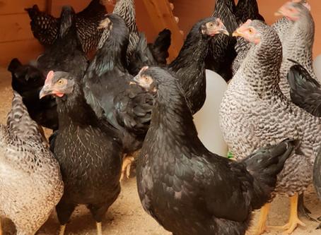 Einzug der Hühner / Entry of the chickens