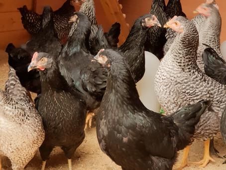 Einzug der Hühner / Arrival of the chicken