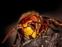 Frelon Nuiseo Izon deratisation bordeaux nid de frelon nid de guepe