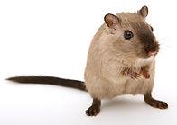 souris Bordeaux Nuiseo Izon deratisation desinsectisation nid de guepe nid de frelon rat coronavirus covid 19