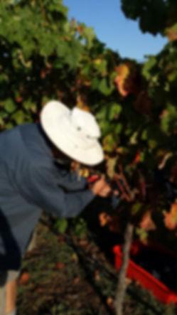 grape picking 2014.jpg