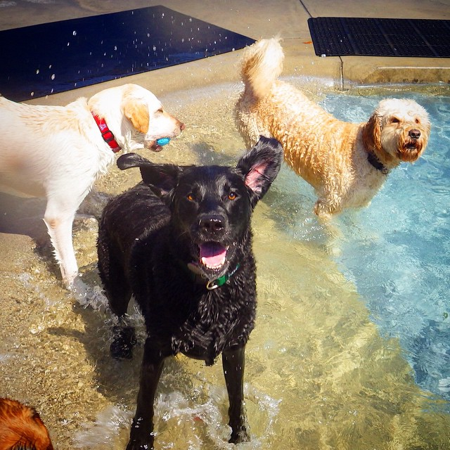 Happy Dogs In Pool at I Dig My Dog