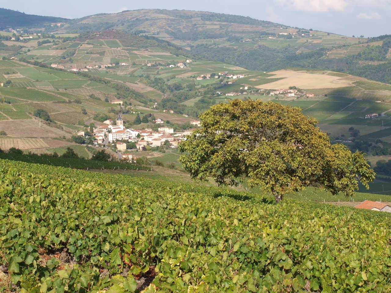 vignoble_beaujolais_Létra_à_coté_de_Ternand