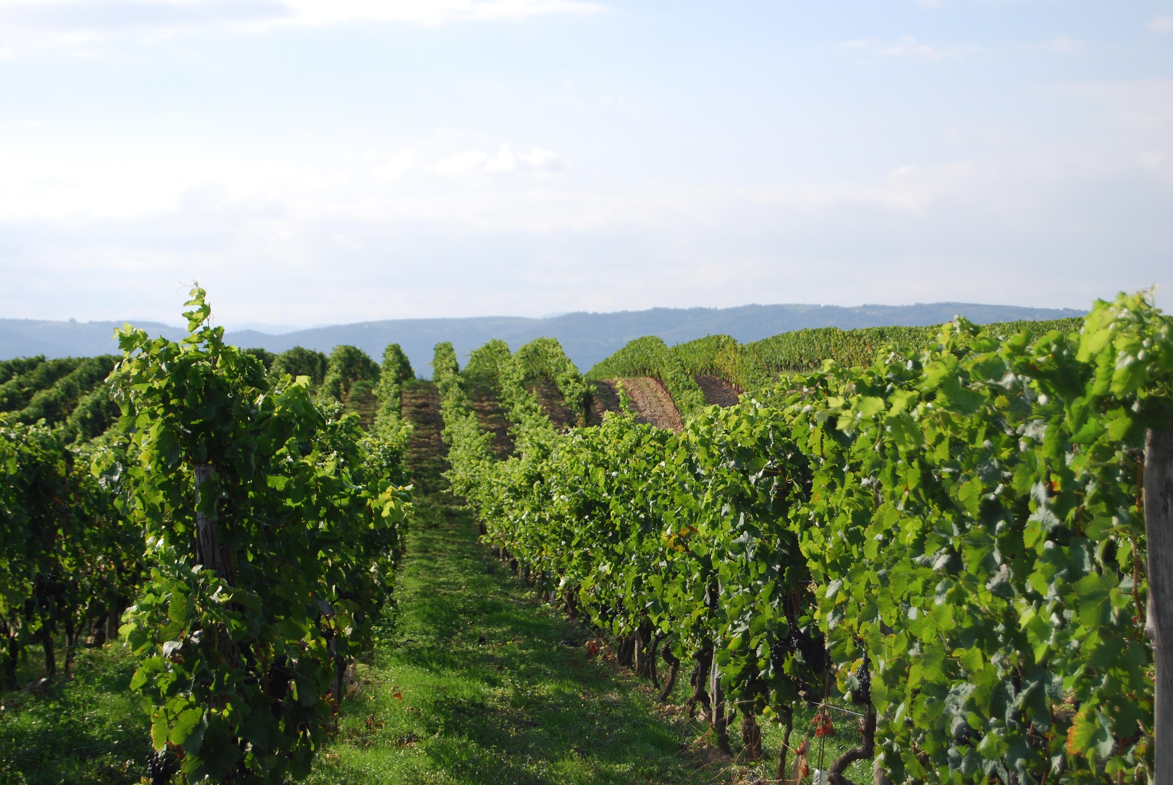 Les vignes du Domaine de Murinais