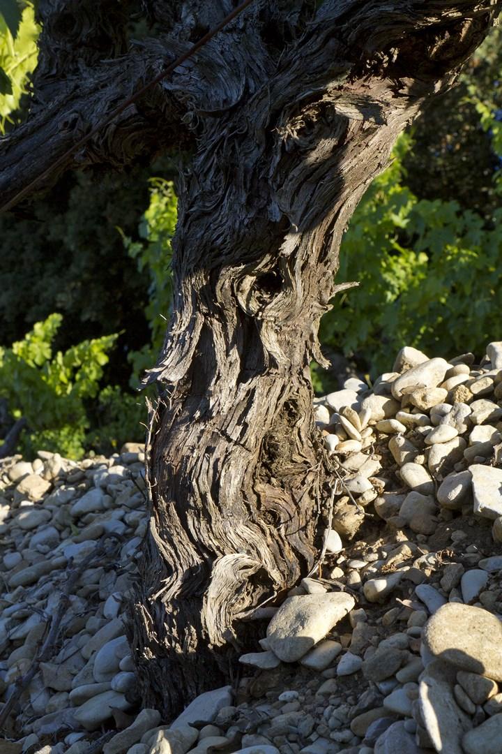 pied de vigne de Sablet