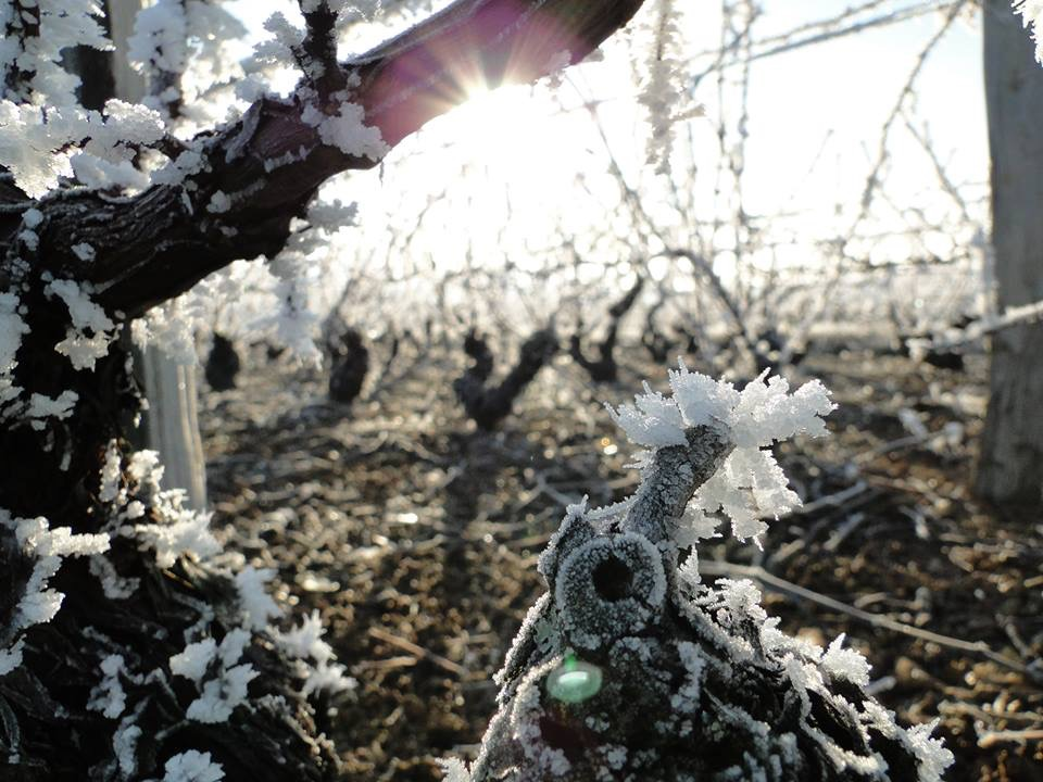 Cepage gamay givre 2017