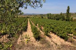 Domaine des Romarins-vignes