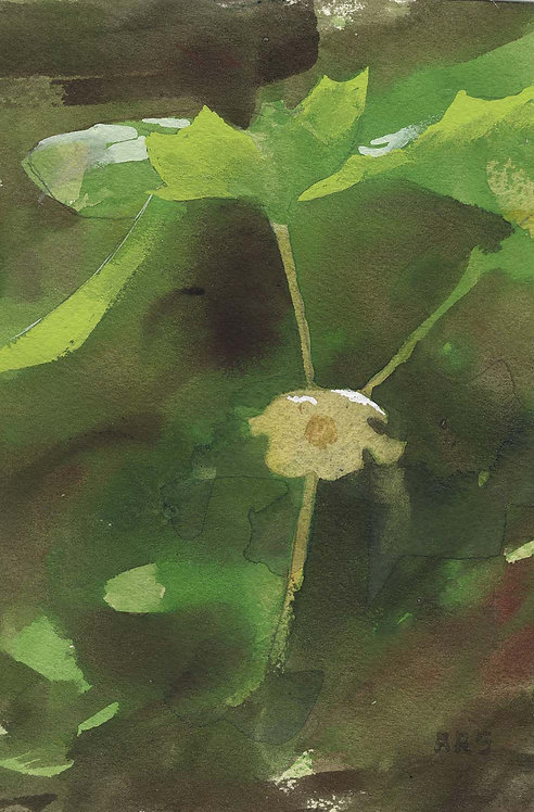 May Apple watercolor painting robert stack