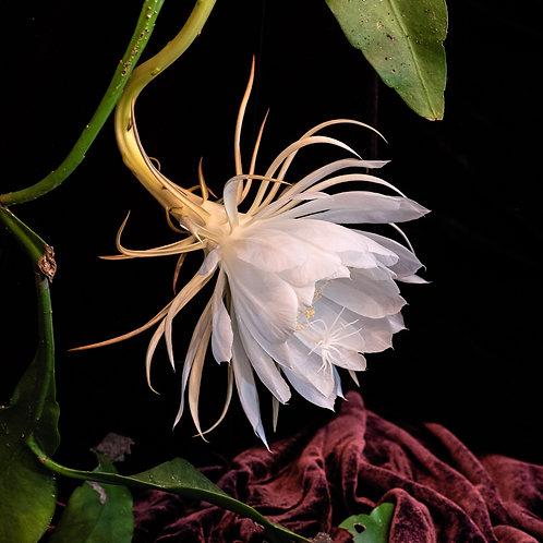 """""""Night-Blooming Cereus"""" by Robert S. Porter"""