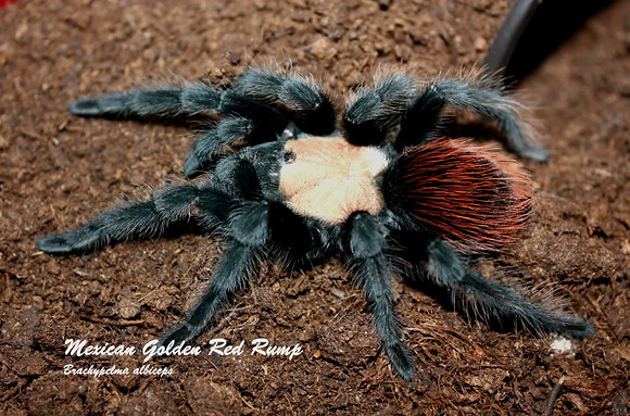 Mexican Golden Red Rump (Brachypelma albiceps)