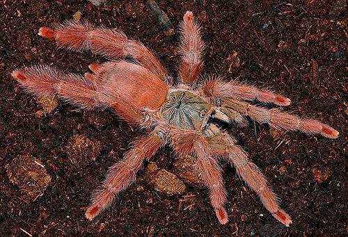 Orange Tree Spider (Tapinauchenius gigas)