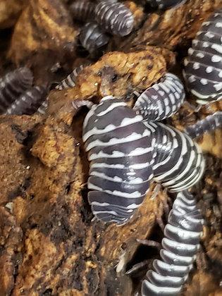Zebra (Armadillidium maculatum)