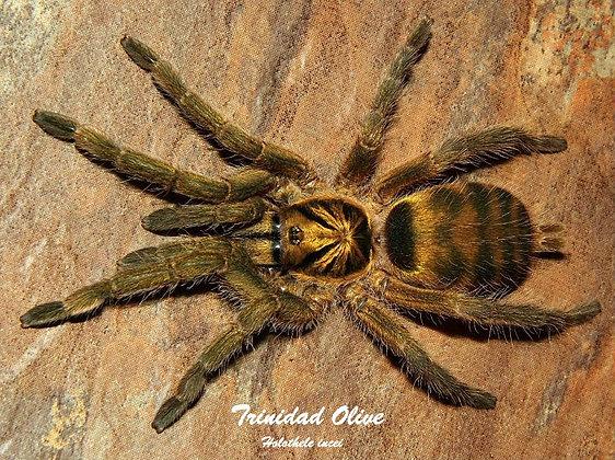Trinidad Olive (Holothele incei)