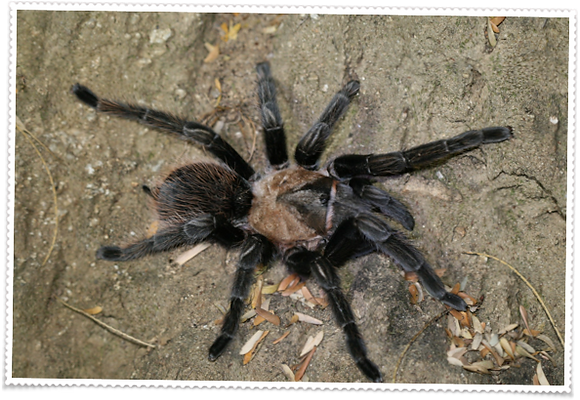 Mexican Rose Grey (Brachypelma verdezi)